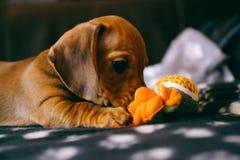 与玩具的达克斯猎犬小狗 图库摄影