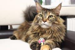 与玩具老鼠的猫 严肃的神色 与兴趣的看法 免版税库存照片