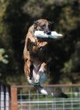 与玩具船坞潜水的狗 免版税库存照片