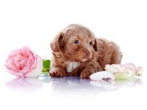 与玫瑰的小狗 库存图片