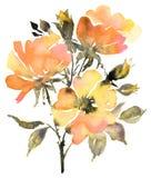 与玫瑰的植物的水彩绘画在夏天绽放开花 皇族释放例证