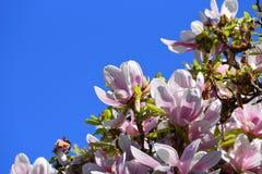 与玫瑰色花的开花的分支 免版税库存图片