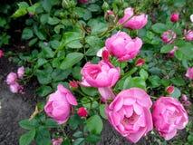 与玫瑰`当归`品种精美典雅的开花的美好的花卉桃红色绿的不同的背景  免版税库存图片