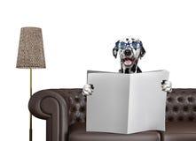 与玻璃的微笑的达尔马希亚狗读与空间的报纸文本的在沙发在客厅 查出在白色 免版税库存图片