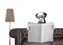 与玻璃的达尔马希亚狗读与空间的报纸文本的在沙发在客厅 查出在白色 免版税图库摄影