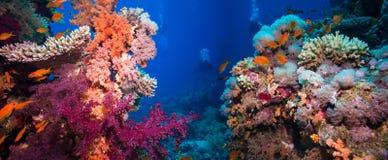 与珊瑚和海绵的五颜六色的水下的礁石 库存图片