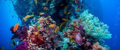 与珊瑚和海绵的五颜六色的水下的礁石 免版税库存图片