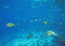 与珊瑚的水下的风景钓鱼Dascillus 免版税图库摄影