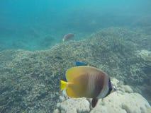 与珊瑚礁和蝴蝶鱼的水下的风景 在狂放的自然的水族馆鱼 免版税库存照片