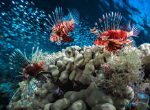 与珊瑚礁的鱼 免版税库存图片