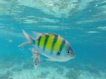与珊瑚鱼的水下的风景 唯一dascillus鱼特写镜头 免版税图库摄影