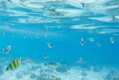 与珊瑚鱼的水下的风景 dascillus鱼学校  黄色和黑镶边珊瑚鱼 免版税库存照片