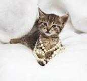 与珍珠项链的小猫 免版税图库摄影