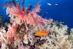 与珠宝石斑鱼的五颜六色的礁石 库存照片