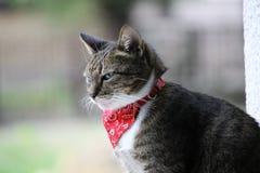 与班丹纳花绸的猫 免版税图库摄影