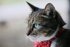 与班丹纳花绸的猫 库存照片