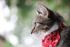 与班丹纳花绸的猫 图库摄影