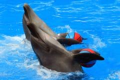 与球的两只海豚在水池 库存照片