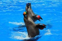与球的两只海豚在水池 免版税图库摄影