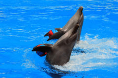与球的两只海豚在水池 图库摄影