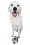 与球的嬉戏的金毛猎犬小狗 免版税库存图片