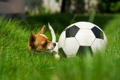 与球的宠物 免版税库存照片