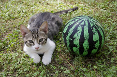 与球的小猫 免版税库存图片