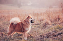 与球的狗在领域 免版税图库摄影