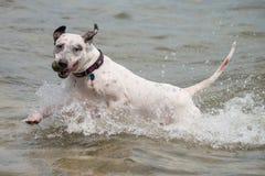 与球的狗在水中 免版税图库摄影