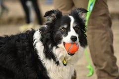 与球的狗在嘴 免版税库存照片