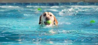 与球的狗游泳在嘴 图库摄影