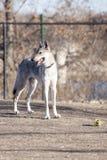 与球的狗 免版税库存照片