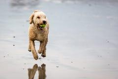 与球的西班牙水猎狗在海滩 免版税库存图片