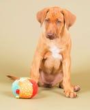 与球的逗人喜爱的小的小狗 免版税图库摄影