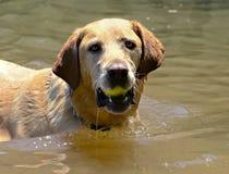 与球的金毛猎犬在水中 免版税库存图片