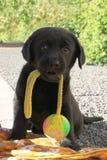 与球的黑拉布拉多小狗在嘴 库存图片