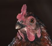 与琥珀色的眼睛的明智的母鸡 库存照片