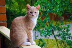 与琥珀色的颜色眼睛的易上镜头的红色猫 Nica,拉脱维亚 库存图片