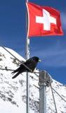 与瑞士旗子的黑鸟在背景中 免版税库存图片