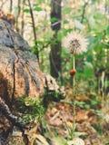 与瓢虫和绿色蚜虫的老蒲公英 库存照片
