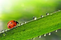 与瓢虫的新鲜的早晨露水 免版税库存照片