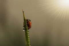 与瓢虫的新鲜的早晨露水 库存图片