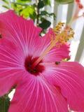 与瓢虫的桃红色花在中部 库存照片