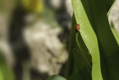 与瓢虫的背景在一个绿色瓣 库存照片