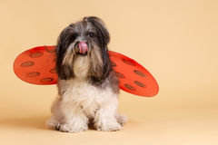 与瓢虫的逗人喜爱的狗飞过,舔 免版税图库摄影