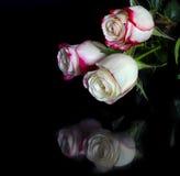 与瓣桃红色边缘的三朵白玫瑰在黑色的 图库摄影