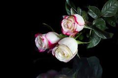 与瓣桃红色边缘的三朵白玫瑰在黑色的 库存图片