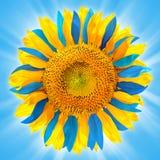 在乌克兰旗子的颜色的向日葵 库存图片
