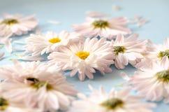 与瓣的很多雏菊在蓝色背景 免版税图库摄影