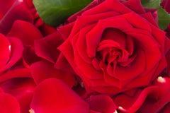 与瓣的新鲜的红色玫瑰 免版税库存图片